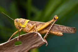 yellow grasshopper perched on woods