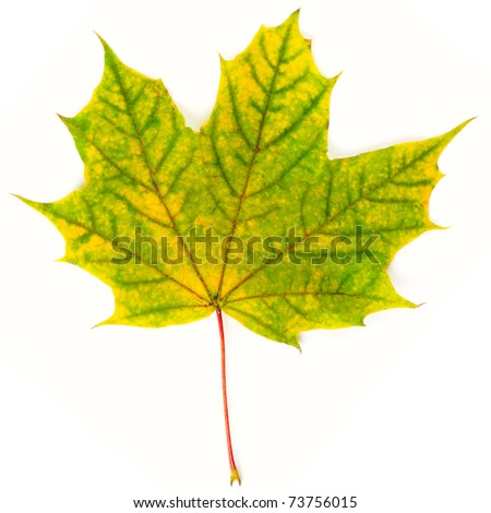 Yellow-green autumn leaf isolated on white background - stock photo