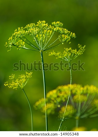 yellow-green dill closeup with blurred green background