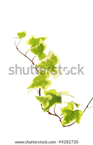 Yellow green ivy