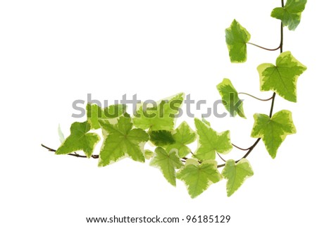 Yellow green ivy