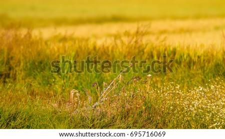 Yellow green nature and camouflage bird. Common bird. Eurasian Stone curlew. Burhinus oedicnemus #695716069