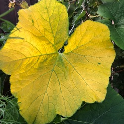 Yellow greenish shaded pumpkin leaf with lines