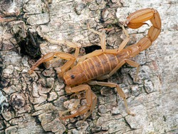 Yellow Ground Scorpion, on bark, from above. These relatively small scorpions are also known as Coahuila devil scorpions