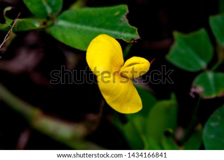 Yellow groundnut flower close up