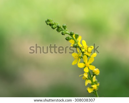 Yellow Hairy agrimony in?the summer grassy field
