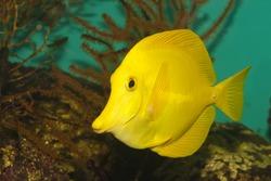 Yellow Hawaiian Tang (Zebrasoma flavescens) in Aquarium