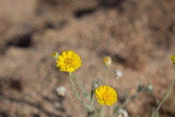Yellow head inflorescences of Leafstalk Marigold, Baileya Pleniradiata, Asteraceae, native hermaphroditic herbaceous short lived perennial in Joshua Tree National Park, Southern Mojave Desert, Summer.