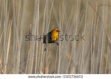 Yellow-headed Blackbird (male) #1101736613
