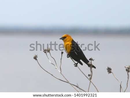 Yellow-headed Blackbird (male) (xanthocephalus) (perching)