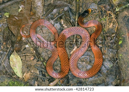 Yellow-headed calico snake (Oxyrhopus formosus)