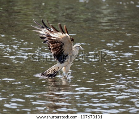 Yellow-headed Caracara (Milvago chimachima) hunting for fish - El Cedral, Los Llanos, Venezuela