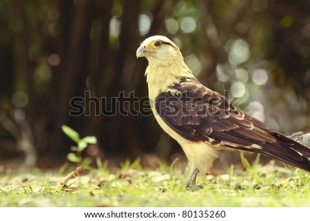 Yellow-headed Caracara on a sunlit clearing