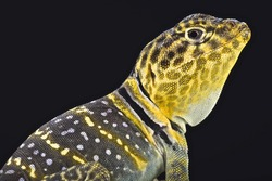 Yellow headed collared Lizard  (Crotaphytus collaris auriceps)