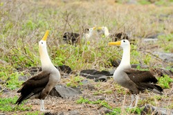 yellow headed waved albatross native to the galapagos islands