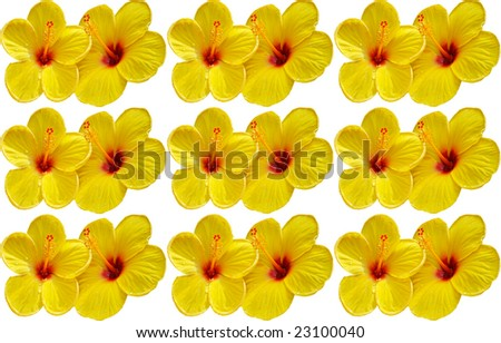 yellow hibiscus flower background