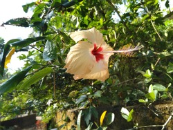 yellow hibiscus flower beauty in garden kerala chembarathi