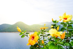 yellow Hibiscus Flowers for background, Space for text.