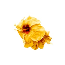 Yellow hibiscus flowers on white background