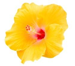 Yellow Hibiscus on white background