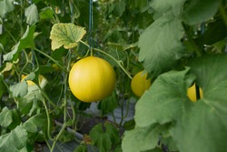 yellow honeydew melons hanging on tree in field
