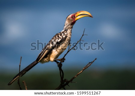 Yellow Hornbill Side View in the Kruger National Park