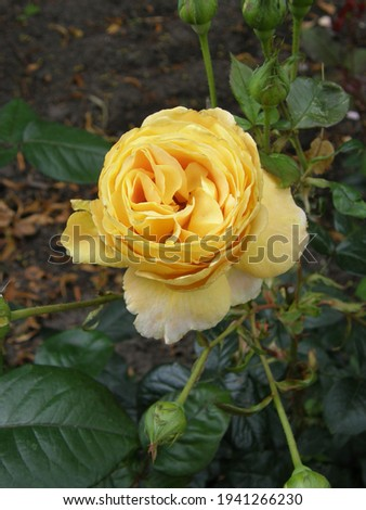 Yellow Hybrid Tea shrub rose (Rosa) Candlelight blooms in a garden in September
