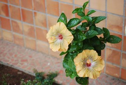 yellow ibiscus flower with green leaves