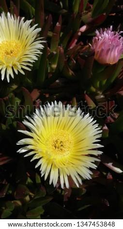 Yellow ice plant bloom #1347453848