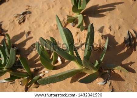 Yellow ice plant (Carpobrotus edulis) growing on the beaches. #1432041590