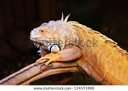 Yellow iguana sitting on the tree