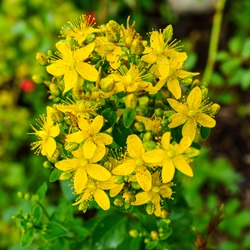 Yellow inflorescences of St. John's wort close up