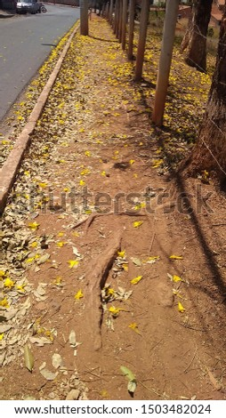 yellow ipe petals in the city street of Belo Horizonte - Brazil