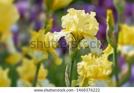 Yellow Iris flower bloom on background of blurry iris flowers in iris garden. Nature.