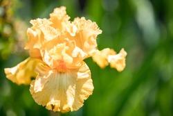 Yellow Iris flower bloom on background of blurry iris flowers in iris garden. Nature. Blooming yellow iris in the garden. Macro.