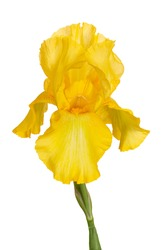 Yellow iris. Flower on a white background