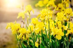 Yellow iris flowers. Beautiful natural background, sunlight.