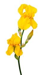 yellow iris isolated on white backround