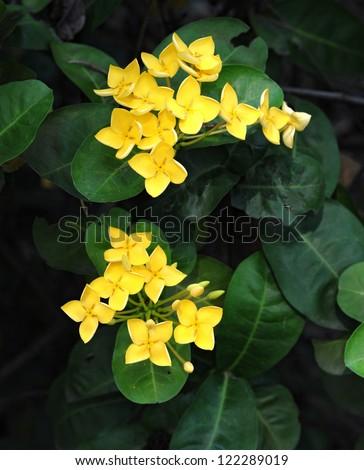 yellow ixora flower
