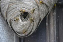 Yellow Jacket Hive
