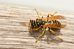 Yellow Jacket Wasp Chews Wood into Pulp to Construct Nest