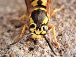 Yellow Jacket Wasp from the genera Vespula and Dolichovespula