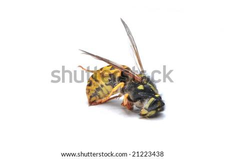 yellow jacket wasp on white background - stock photo