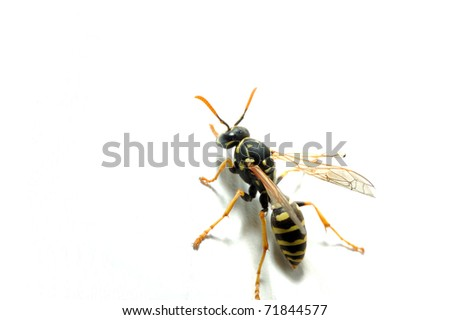 Yellow Jacket Wasp on white wall, West Virginia, USA