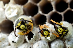 Yellow-jacket Wasps emerging from eggs, West Virginia, USA
