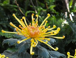 Yellow Japanese chrysanthemum known as spider