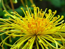 Yellow Japanese chrysanthemums known as spider