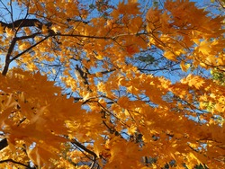 Yellow Japanese maple leaves or normal call momiji with shiny blue sky background in autumn. Colorful a collection of fall foliage. Action of leafs in windy day. Uncommon yellow maple leaf.