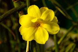 Yellow jasmine flower, Jasminum mesnyi
