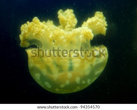Yellow Jelly Fish - stock photo